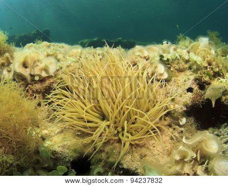 Anemone underwater