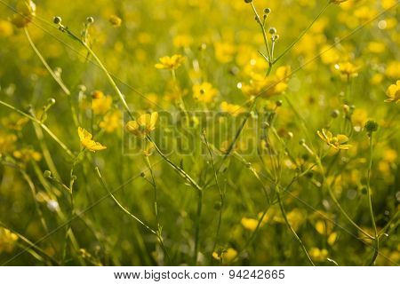 Wallpaper With Buttercups