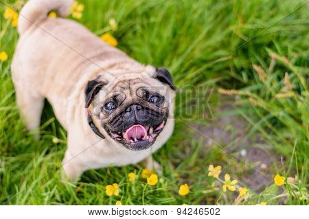 Female Pug At The Park