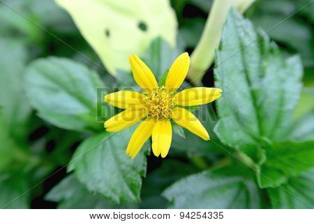 Yellow Camomile among the green leaves