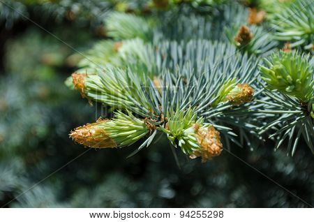 Spruce tree branch. The Natural green background.