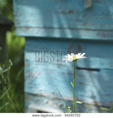 Camomile And Hive