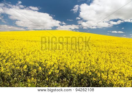 Field Of Rapeseed - Brassica Napus