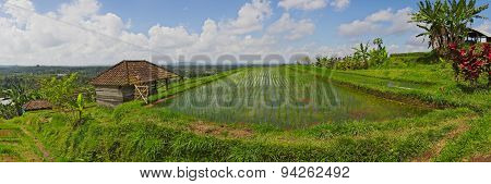 Exotic Rice Terrace Field Panorama In Bali