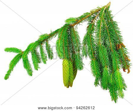 fir cones, isolated on white background