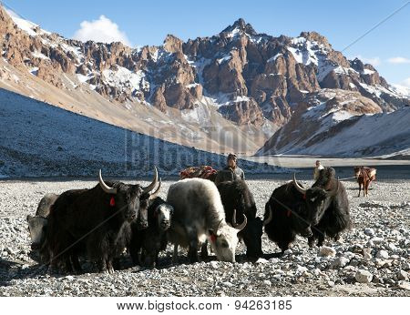 Group Of Yaks In The Great Himalayan Mountains