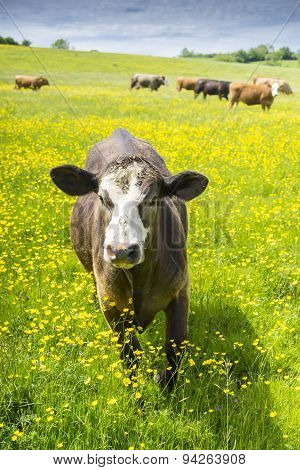 Single Cow Approaching Camera In Field Of Buttercups