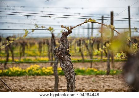 First spring leaves on a trellised vine growing in a vineyard on a winery with rows of vines visible in the background