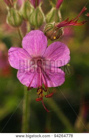 blooming geranium closeup