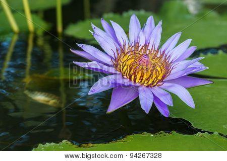 Fresh Lotus Blooming On The Water Between Lotus Leaves