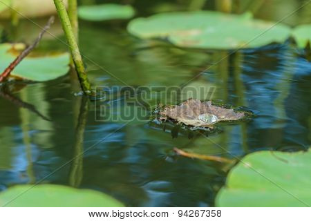 Water Drop On Dry Lotus Leaf That Float On The Water