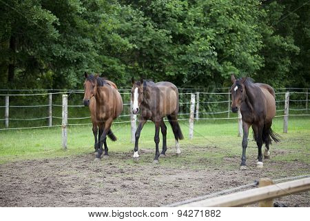 Three Holsteiner Horses