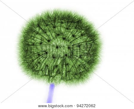 dandelion in green on white