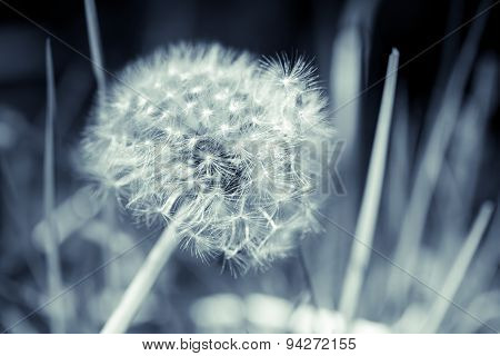 Dandelion Flower With Fluff, Blue Toned