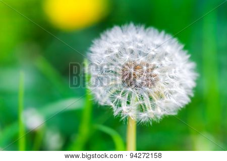 Dandelion Flower With Fluff, Closeup Photo