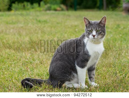 One alone grey big cat sitting and looking in open air in green background in the village