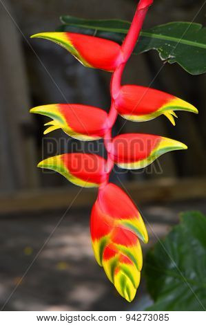 Lobster Claw Latin name Heliconia rostrata