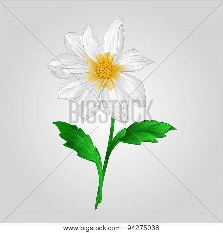 White Dahlia Vector