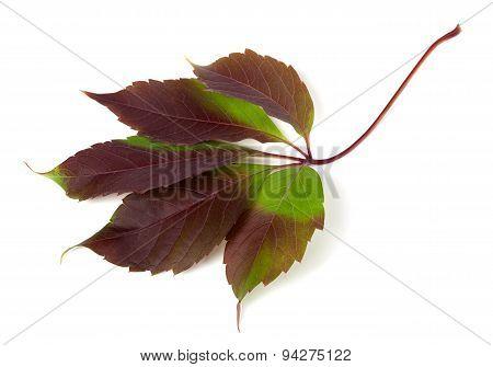Multicolor Autumn Grapes Leaf (parthenocissus Quinquefolia Foliage)