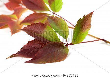 Multicolor Autumn Grapes Leaves (parthenocissus Quinquefolia Foliage)
