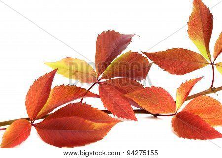 Autumnal Twig Of Grapes Leaves (parthenocissus Quinquefolia Foliage)