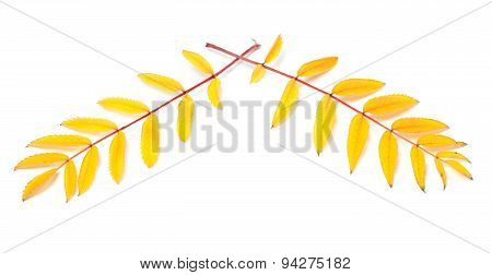 Yellowed Autumn Rowan Leaves On White Background