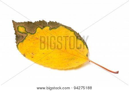 Multicolor Yellowed Autumn Leaf