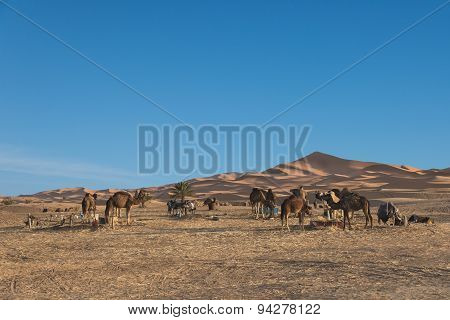 The Group Of Camel Standing Near The Desert