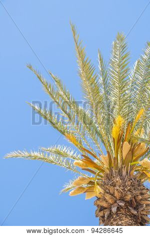 Flowering date palms in Morocco