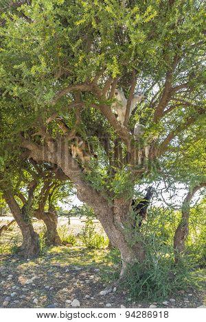 Goats eating argan tree leaves - Morocco, Taroudant region