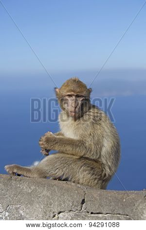 Young barberry monkey on a wall