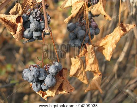 Blue vine in autumn dry leaves