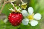 foto of strawberry plant  - Wild strawberries plant with green leaves  - JPG