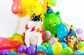 foto of hawaiian flower  - Black and white cat in animal party surrounded by colorful balloons - JPG