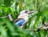 stock photo of kookaburra  - Blue - JPG