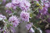 foto of chrysanthemum  - Lilac chrysanthemums in the garden under the snow - JPG