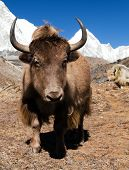 picture of yaks  - Yak on the way to Everest base camp and mount Pumo ri  - JPG