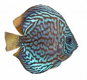 stock photo of diskus  - Blue turquoise discus fish isolated over white background - JPG