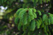 foto of runaway  - Pine tree branch with young green runaways - JPG