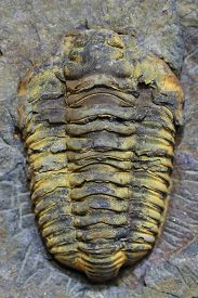 pic of paleozoic  - trilobite fossil as very nice natural background - JPG