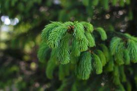stock photo of runaway  - Pine tree branch with young green runaways - JPG