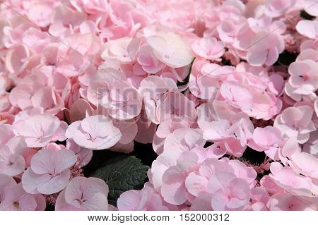 pink hortensia flower closeup natural background, selective focus