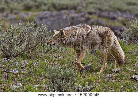 Coyote on the prowl along Slough Creek Campground Road in Yellowstone National Park Wyoming USA. Season is spring in May 2016.