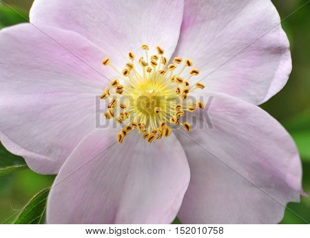Close up of pink flower with yellow center