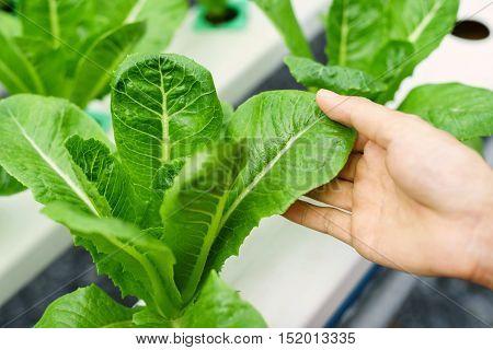 Fresh Organic hydroponic vegetable in cultivation farm