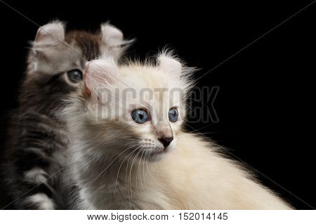 Close-up Two Furry American Curl Kittens with Twisted Ears Isolated Black Background, Profile view
