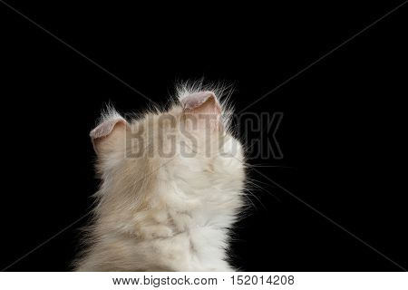 Close-up Head of Furry American Curl Kitty with Twisted Ears Isolated Black Background, Back view