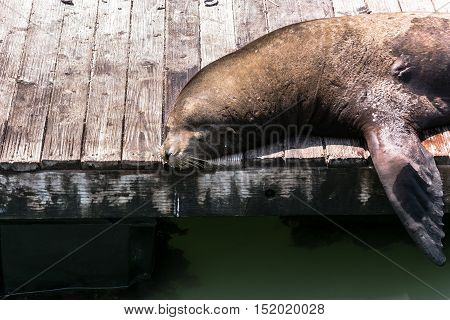 View of a sea lion resting on a platform in San Francisco, California