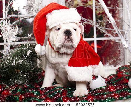 puppy christmas  Bulldog