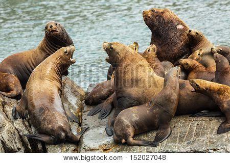 Rookery Steller sea lions. Island in the Pacific Ocean near Kamchatka Peninsula.